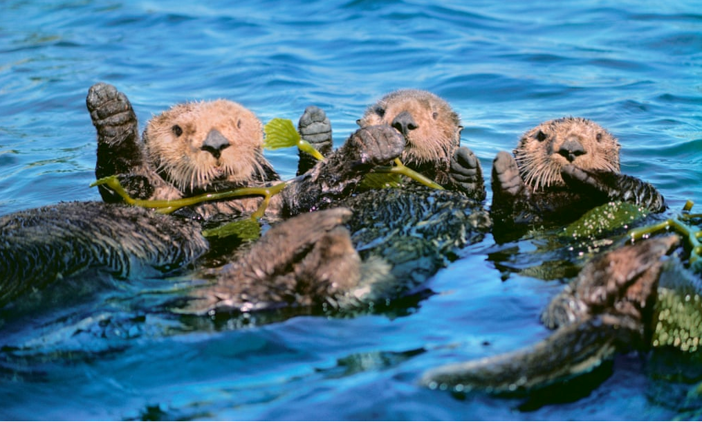 Three otters swimming in water with seaweed.